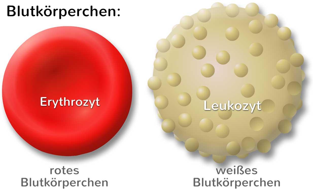 Was sind Blutkörperchen? Rote und weiße, einfach erklärt