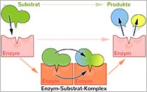 Thema: Enzyme
