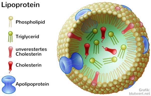 Lipoprotein Erhöht