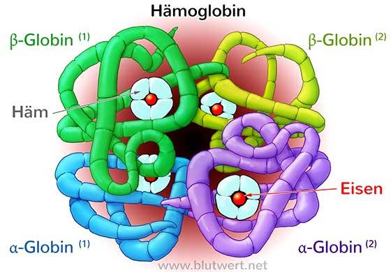 Hämoglobin bei Blutwert.net