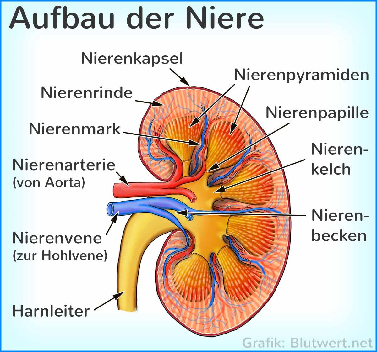 Niere Aufbau, Funktion, Blutwerte