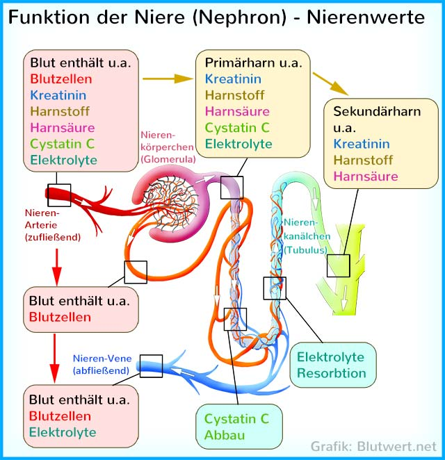Funktion der Niere (Nephron)