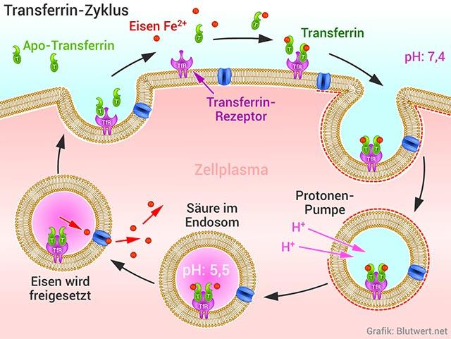 Transferrin-Zyklus