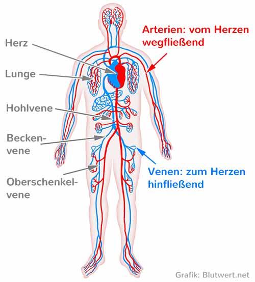 Blutgefäße beim Menschen: Venen und Arterien