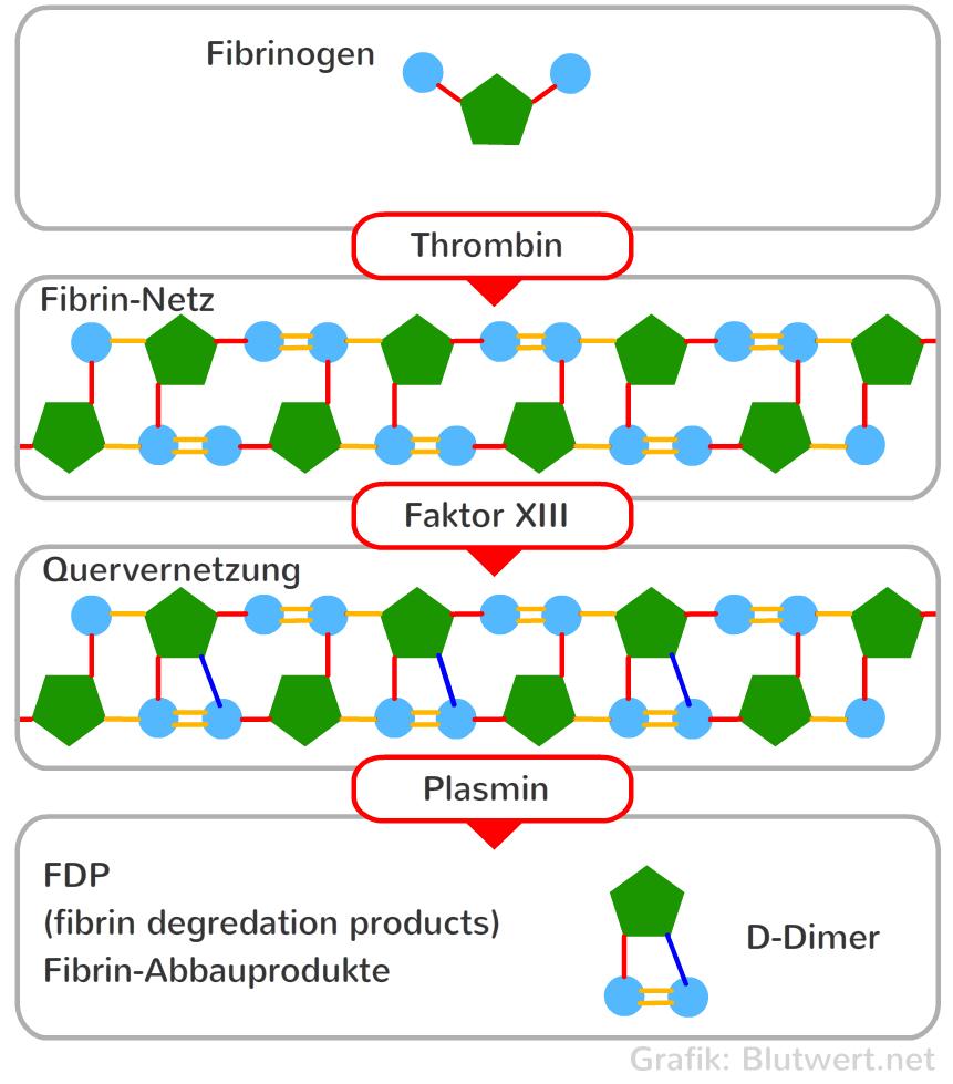 Bei d-dimere erkältung erhöht Fibrinogen: Was